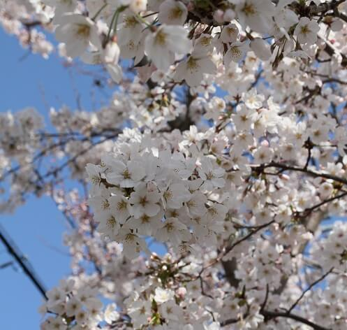 sakura cherry bloosom of Japan