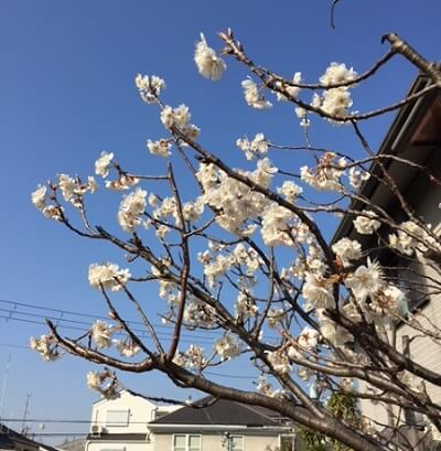 cherry blossoms already open in my area