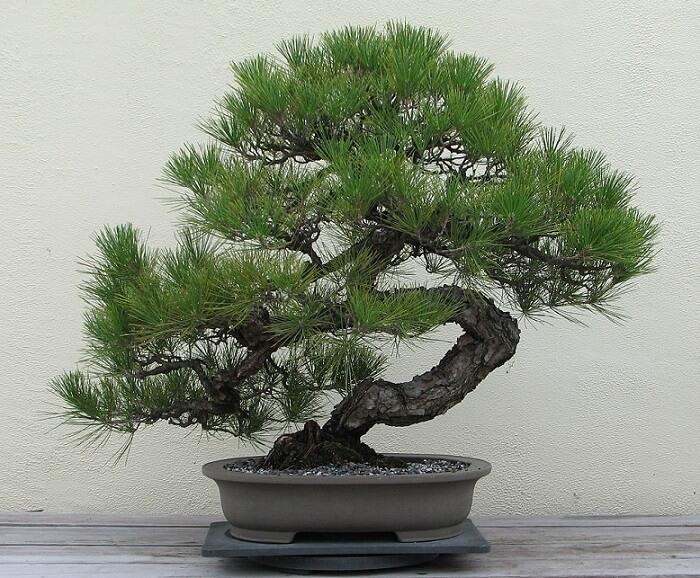 Japanese arts and crafts: Bonsai