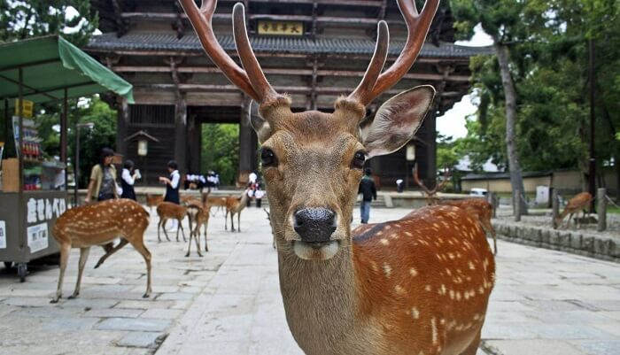 Buddhist Architecture, deer in Nara park