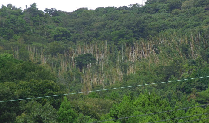 Japanese forest as a bamboo resource