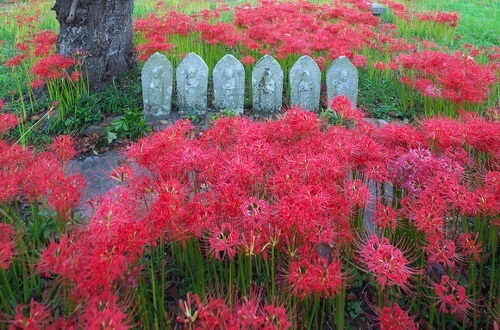 Higan-bana flower, cluster-amaryllis, in a graveyard