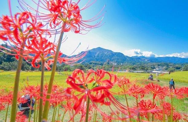 Higan-bana flower, cluster-amaryllis, along rice field